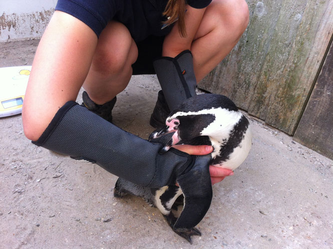 Health check for the Humboldt Penguins at Sealife