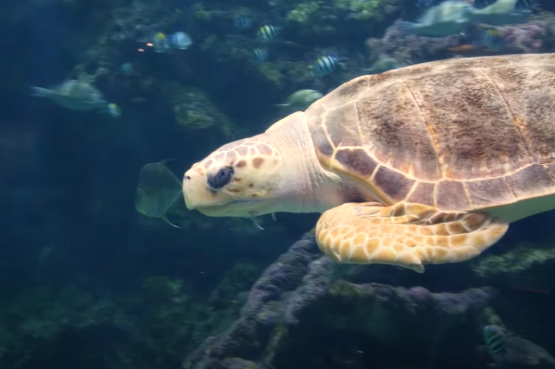 Oceanopolis moves their 130 kilo Loggerhead Turtle successfully with our carrier