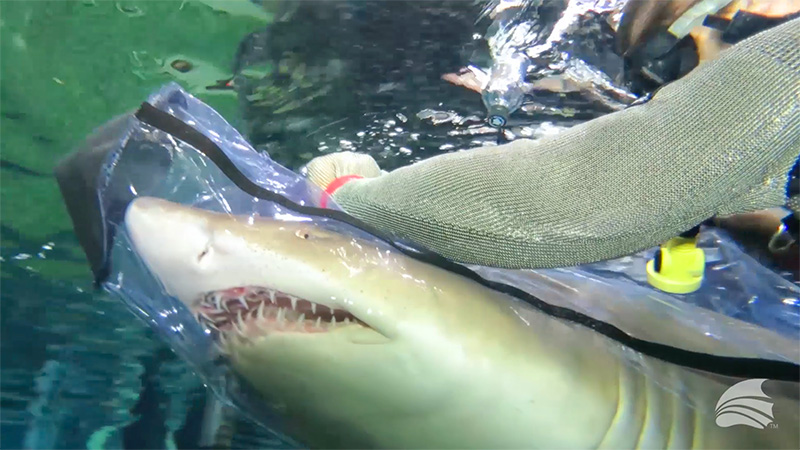 Medical examination of a Sand Tiger Shark using The Aquarium Vet Shark Bag