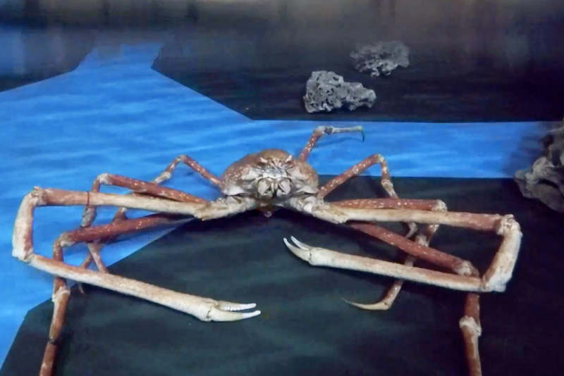 Sealife Manchester transports Japanese Spider Crabs with our new carrier