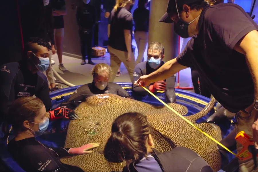 Conducting a medical check up of an Australian Whiptail Ray with our Ray Tray