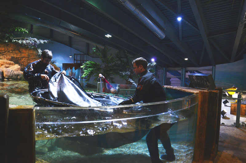 Helping to move a Bowmouth Guitar Fish at Sealife